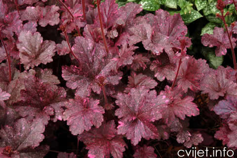 heuchera_midnight_rose_1b[1].jpg